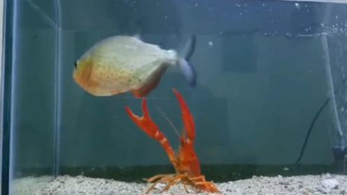 饿了10天的食人鱼有多可怕?小伙刚把龙虾扔进去,场面直接失控