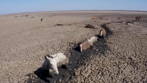 心痛!成群的动物在泥潭中绝望等死,镜头拍下非洲即将干枯的湖