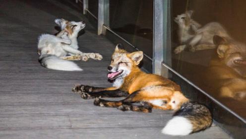 我国市区出现2只狐狸,还向路人撒娇索要食物,网友:成精了!