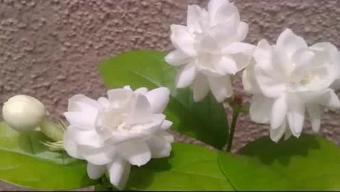 """号称""""中华第一香""""的花,10里蝴蝶全吸引来,纯天然的香水"""
