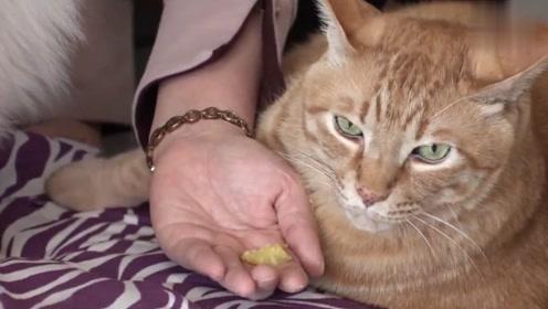 这只猫咪已经胖到连零食都不吃了,网友:这是怎么养的?