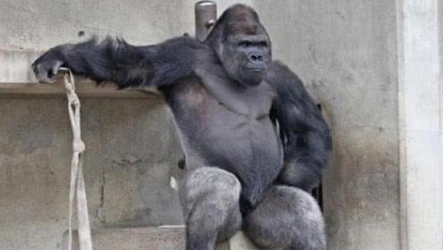 日本有只大猩猩成精了?吸引大批美女为它尖叫