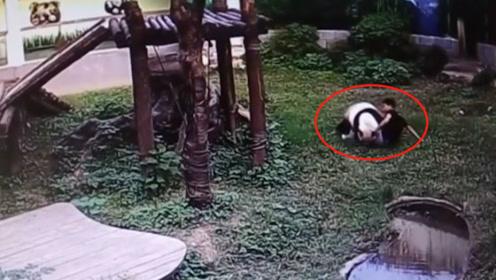 男子偷翻进熊猫园摸熊猫,熊猫被吵醒死活不让走,镜头拍下全过程