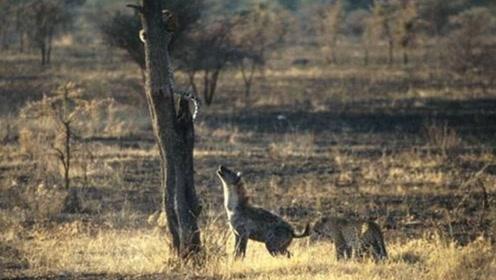猎豹捕捉猎物正准备享用,不料被鬣狗夺去,被围堵到树上不敢下来