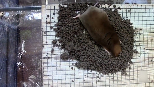 """这种老鼠能用鼻子""""看见""""猎物,活得很好,却是一种害兽"""