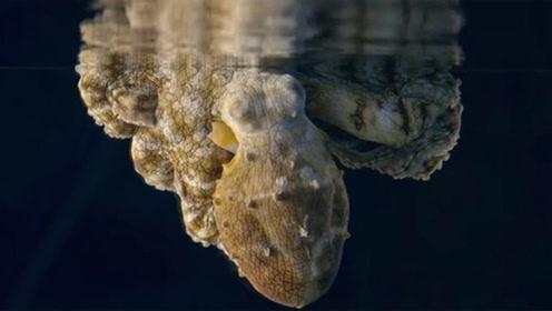 美科学家拍到罕见画面:章鱼一边做梦一边变色,可能梦见在吃螃蟹