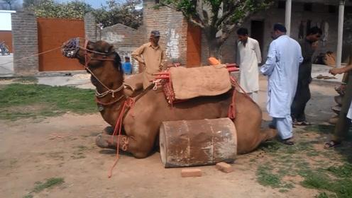 骆驼挑战1300公斤的负重,倒下的那一瞬间,想想都很疼