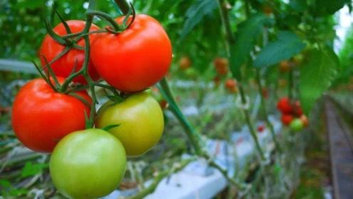 老中医:西红柿养颜利尿,但是这几种人千万别吃!早看早受益!