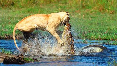 狮子和鳄鱼哪个更厉害?这回有答案了,话不多说直接看视频