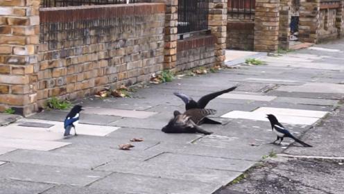 雀鹰猎杀乌鸦,遭到旁边的鸟围攻营救,好戏正在上演