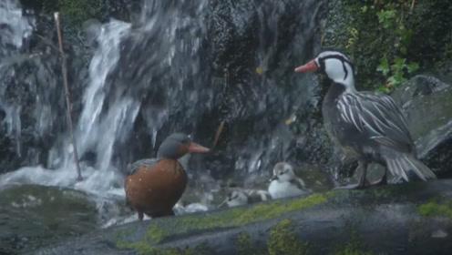 瓣蹼鹬带着雏鸟过河,一家四口在湍急的水流中前进,一只被冲走