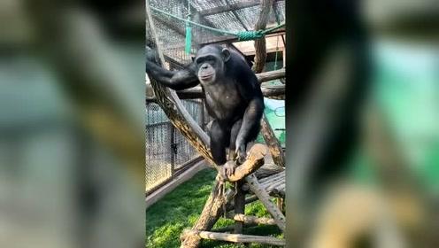 不信你不笑,反正我快笑岔气了,这猴子是成精了吧