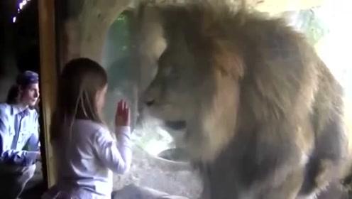 男子隔玻璃亲了老虎一下,老虎一巴掌就呼了上去,镜头拍下全过程