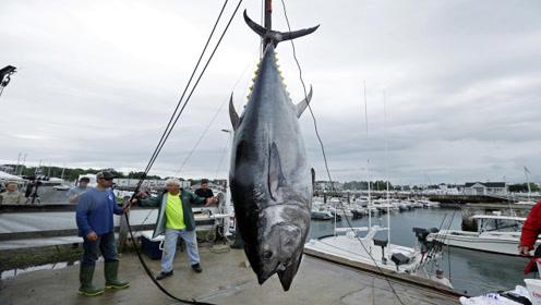蓝鳍金枪鱼比我国大熊猫更濒危,为何没有哪个国家进行人工饲养?
