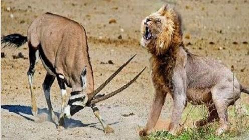 1头羚羊在河边喝水,突然一只狮子狂奔而来,结果没刹住车