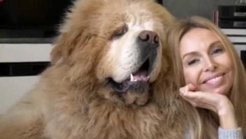 世上最大的狗,站起来2.3米威风凛凛!女主人为它奉献自己青春