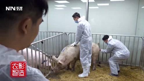从外地引进种猪又怕得病?他的这个办法安全又高效
