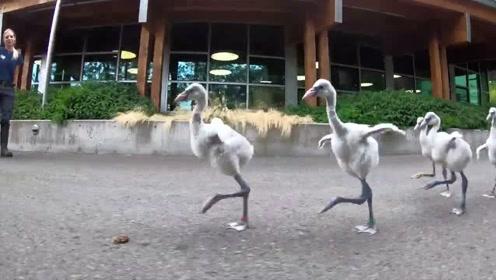 超级萌的火烈鸟宝宝学走路,这帅气的大长腿好像踩着高跷一般!