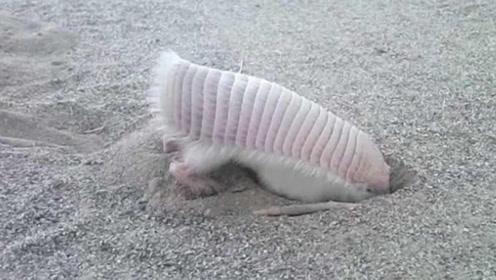 """地球上最小的哺乳动物,竟是粉红色的""""小仙女""""?看完真的爱了"""