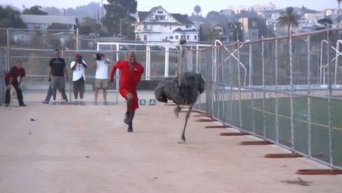 """世界短跑冠军""""飞人""""博尔特,与鸵鸟赛跑,这画面让人笑出了声"""