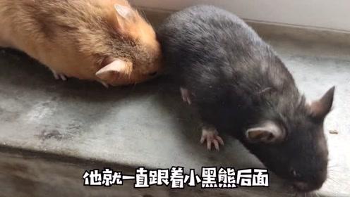 看看渣鼠怎么哄老婆的,学着点!你们都不如一只小仓鼠