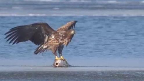 老鹰在水面扑腾,本以为是溺水,谁知竟是新捕猎招数?太心机了!