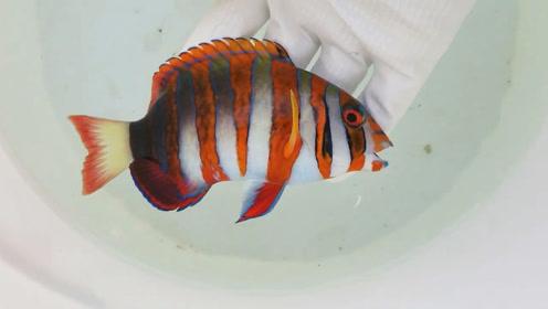 海边收来的观赏鱼,这么好看的海鱼就得养起来!