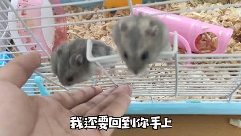 仓鼠三哥白嫖2只小仓鼠!
