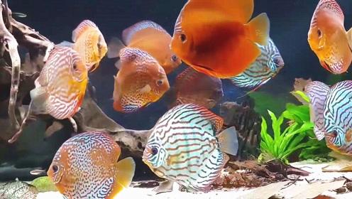 邻居将宝贝七彩鱼养在客厅中,第一感觉特美,真想抓一对养在家中
