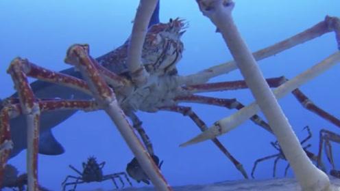 """日本海边泛滥巨型""""杀人蟹"""",伸开腿长达3米,当地渔民苦不堪言!"""
