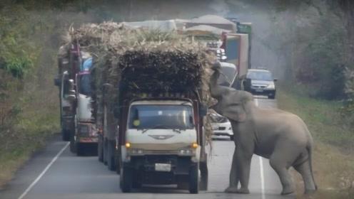 泰国的马路上惊现大象拦车,霸道抢夺甘蔗,场面太震撼!