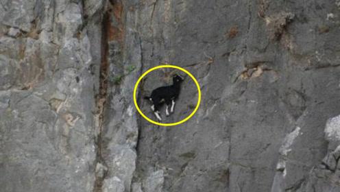山羊在悬崖上飞檐走壁,垂直角度完全不惧,果然不愧是山羊