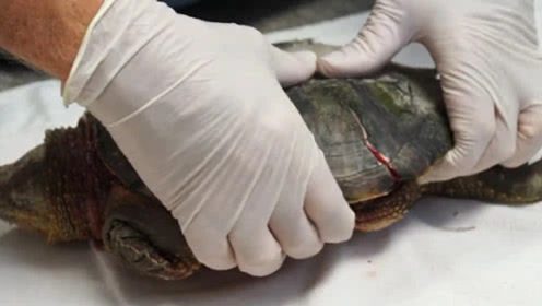 乌龟没有了龟壳,到底还能不能活下去?科学家掰开龟壳后发现了答案!