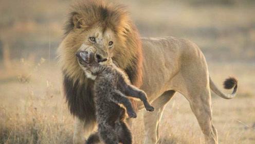 母狮为教训鬣狗,竟偷袭鬣狗并想掏肛,鬣狗绝招被学赶紧逃命