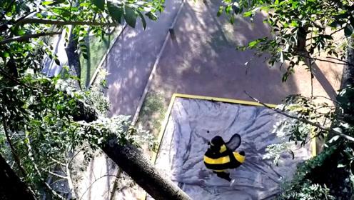 树上掉下一只巨型蜜蜂?老大爷街头恶作剧,但路人却生气了