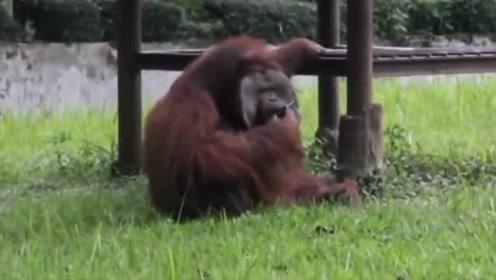 红毛大猩猩吞云吐雾的抽烟 动作娴熟如几十岁老烟民