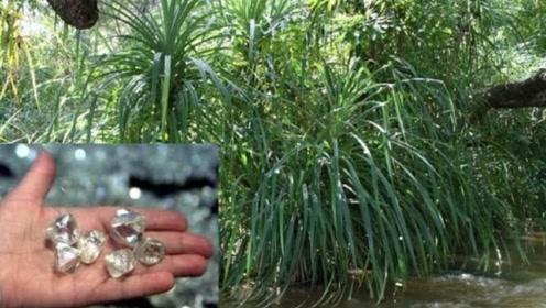世界上最贪财的植物,最喜欢的东西就是钻石,不少人靠它发家致富