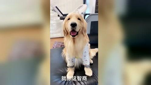不带金毛出去玩,还这么对金毛,狗狗表情好可爱