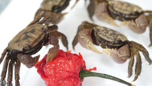"""""""死神辣椒""""到底有多辣?老外用螃蟹做测试,结果让人不敢相信!"""