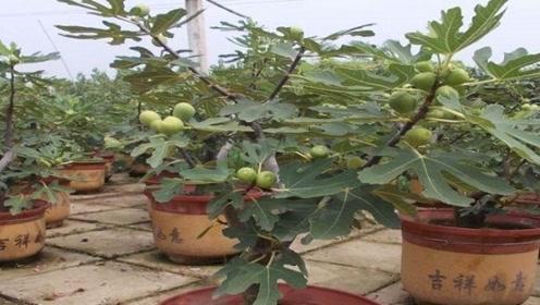 不花钱种出无花果,7天就生根,来年枝头挂满果