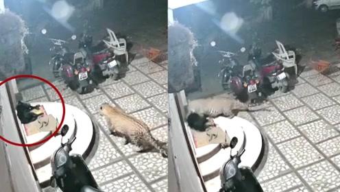 """监控实拍:猎豹闯入民宅后进入""""捕食状态"""" 吼声低沉偷袭看家狗"""