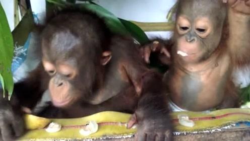 从小就被人类饲养的猩猩,动作行为都在模仿人类,仿佛人类孩子