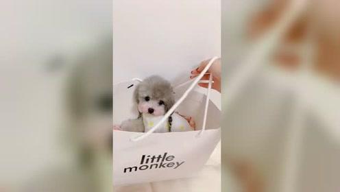 泰迪糯米在购物袋里委屈的样子太可爱了,网友:心都要萌化