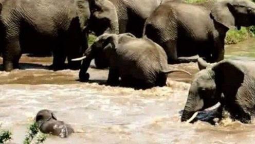 小象被河水冲走,母象无奈决定放弃,然而让人感动的画面出现了