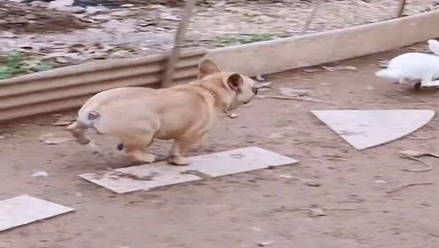 训练狗子抓兔子就得从小时候开始,农村人太聪明了!