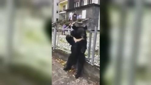 黑熊被拴围栏做马戏团活体广告 不断哀嚎引群众围观