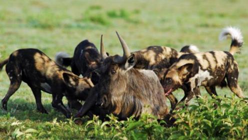 野牛落井下石,角马被鬣狗活活掏死,角马做鬼也不放过野牛