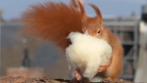 松鼠白天在窝里会干什么?镜头记录温馨画面,而且还会晒被子