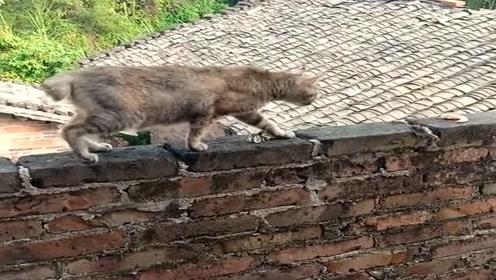 发现墙头有食物,猫咪主动出击,成功将其拿下!