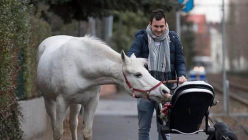 德国白马在市区散步14年 看见熟人打招呼 累了就跳上电车